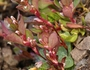 Polygonum minimum Image