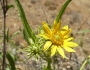 Helianthus californicus Image
