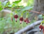 Ribes roezlii Image