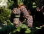 Abies magnifica var. shastensis Image