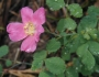 Rosa californica Image