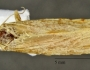 Acleris foliana Image