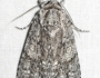 Acronicta impleta Image