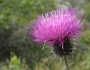Cirsium occidentale Image