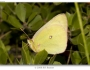 Colias occidentalis Image