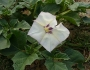 Datura discolor Image