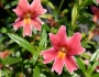 Mimulus 'Jelly Bean Dark Pink' Image