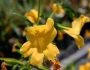 Mimulus 'Jelly Bean Gold' Image