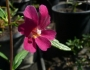 Mimulus 'Ruby Silver' Image
