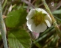 Fragaria chiloensis Image