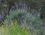 Lupinus albifrons var. albifrons Image