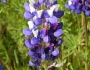Lupinus bicolor Image