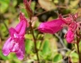 Penstemon newberryi Image