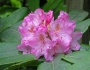 Rhododendron macrophyllum Image